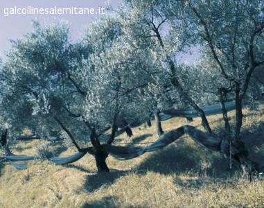 olivi gal colline salernitane